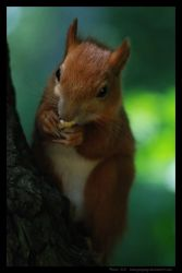 squirrel - savour - by Gregsign