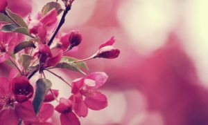 Pink-colored blossoms by arameta