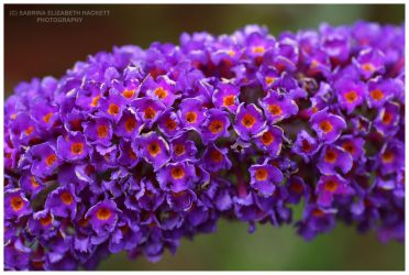 Buddleia by Hitomii