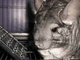 Excuse me Mr. Chinchilla by PhotographyByMay