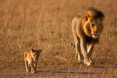 African Lion 39 by catman-suha