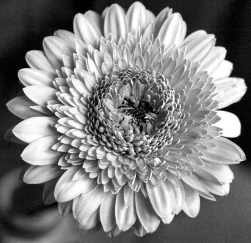 gerbera b-w series II by 013926