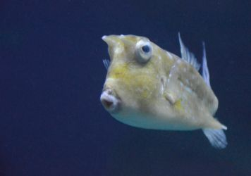 Longhorn Cowfish by DrWheelieMobile