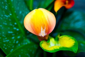 Calla Lily No. 1 by slephoto