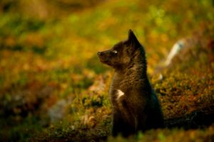 Black Fox Pup in the Wild by WitchDoctorTim