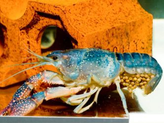 Blue Crayfish with Eggs by sharpion