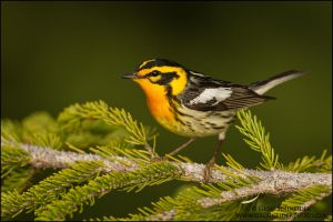 Blackburnian Warbler - the firebreather by gregster09