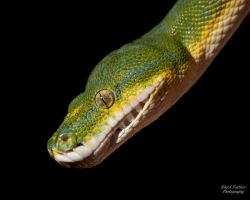Green Tree Python 3 by EdgedFeather
