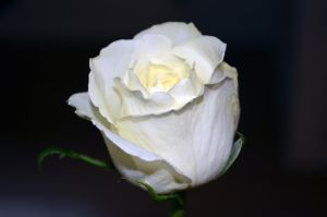 White Rose II by tonnyfroyen