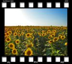 sunflower field by alpha8