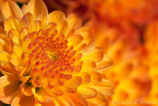Chrysanthemums by CecilyAndreuArtwork