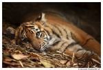 Baby Tiger: Model by TVD-Photography