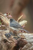 Junco 2440 by GoatDriver