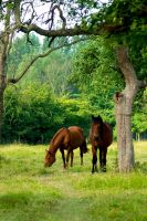 Horses in the old apple grove2 by steppeland