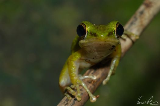 Tree-frog #03 by vetchyKocour
