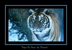 Tiger In Snow by caracal