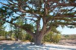 Old cypress-tree. by I-Mago