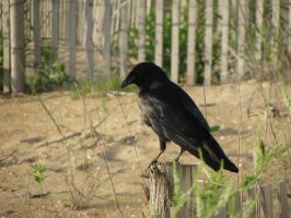 Crow Stock 2 by Cinnamoncandy-Stock