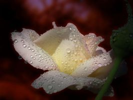 Wet Rose reshaded by Callu