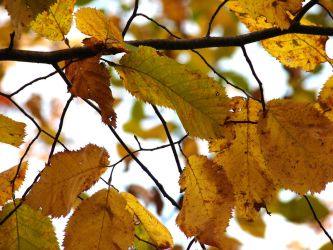 Golden Leaves of Autumn 3 by FantasyStock