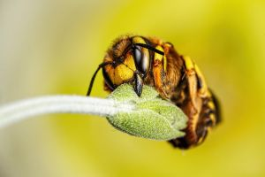 Wool Carder Bee Series 1-4 by dalantech