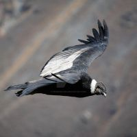 Andean Condor in Flight by Spanishalex