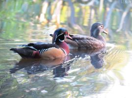 Carolina wood duck pair by kiwipics