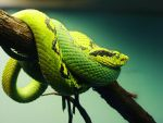 Pit Viper by ColdEdge