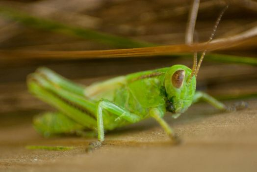 Green Hopper by nonparticipant