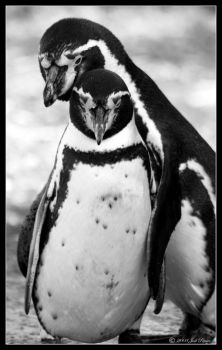 Penguins by Prince-Photography