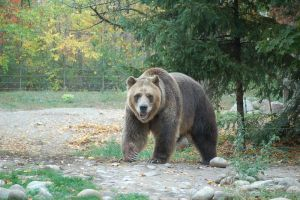 grizzly bear 0273 by stocklove