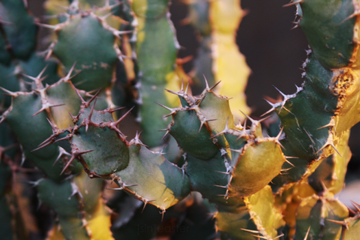 Cactus by doctor-surgeon
