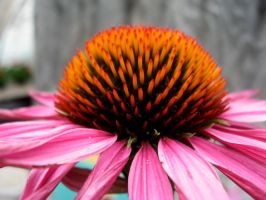 Coneflower Paradise by therealcyndal