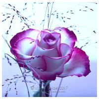 Distant Purple Rose by Lilyas