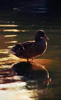 The Duck by RitaC4