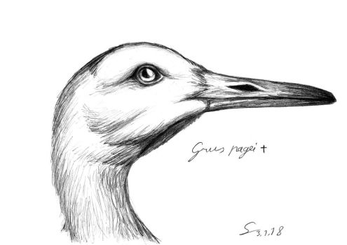 Grus pagei sketch portrait by ShinRedDear