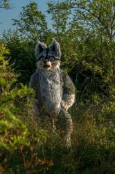 Rexy, the wolf husky, perking out of the bushes by KingLoewi