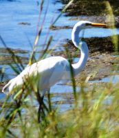 Great Egret 093-2 by annehawholt