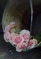 roses in a bucket 03 by Anti-Pati-ya