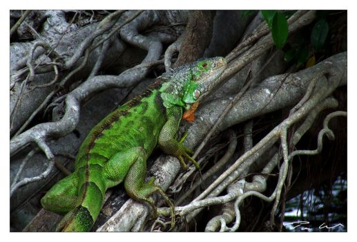 Iguana by tominabox1