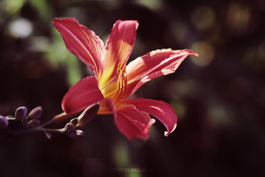Tiger Lily Two by Bmor-Creative