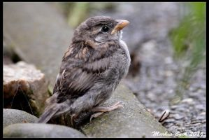 Baby Sparrow by HobbyFotograf