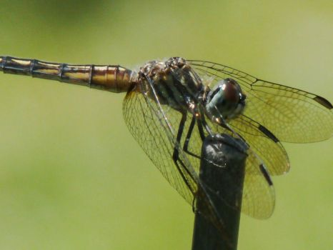 Dragonfly by cindiowens
