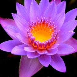 Purple Water Lily by CJStreva