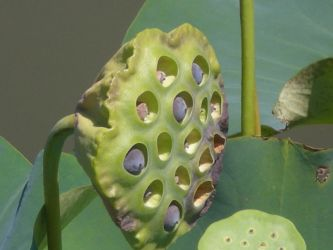 opened water lily seed pod by skyking240 on deviantart