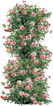 Anne Boleyn Climbing Rose by LilipilySpirit