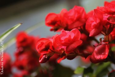 Colorful morning - Red Begonia by ThePurpleLilac
