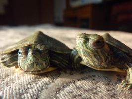 My little Red-eared sliders 2 by SingToLife