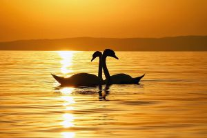 I swam with swans by vanillapearl