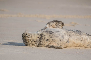 Grey Seal 005 by Elluka-brendmer